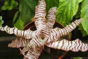 криртантус коричневый