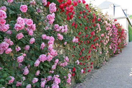 Как выбрать розы