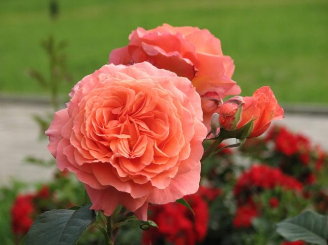 Кустарниковые розы (шрабы)