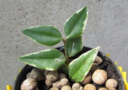 Размножение Хойи Беллы листом