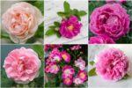 Розы: виды и сорта, фото с названиями и описанием