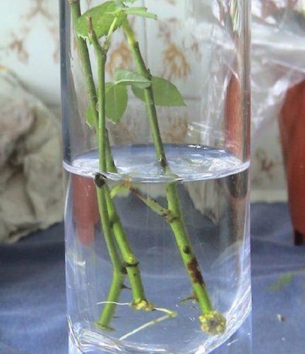 Укоренение черенков розы в воде