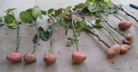 Укоренение розы в картофеле