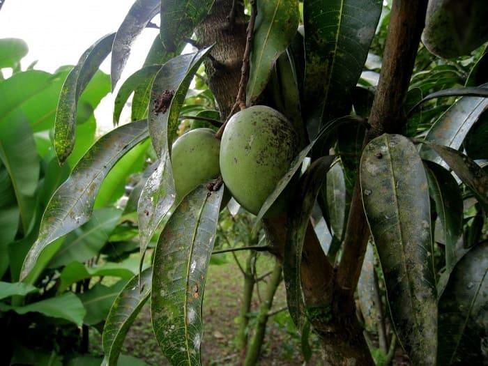 Болезни манго
