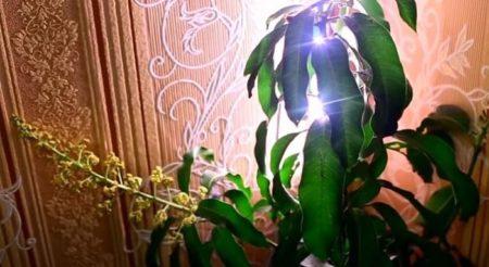 Цветение манго