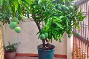 Как вырастить манго из косточки в домашних условиях