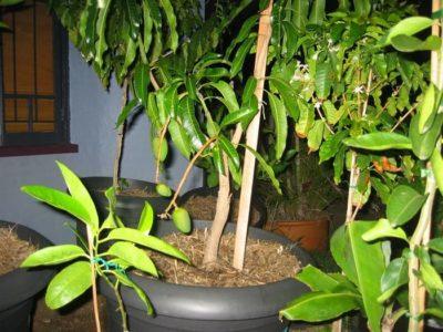 Пересадка манго в больший горшок