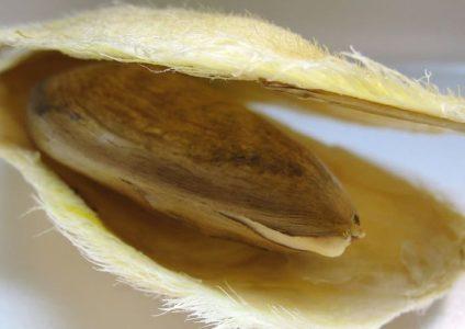 Семя внутри косточки