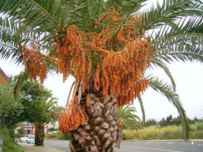 Финиковая пальма в природных условиях