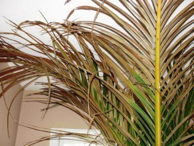Проблемы при выращивании финиковой пальмы
