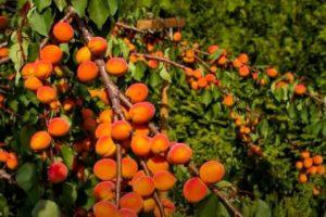 Как вырастить абрикос из косточки в домашних условиях